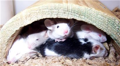 Young mice